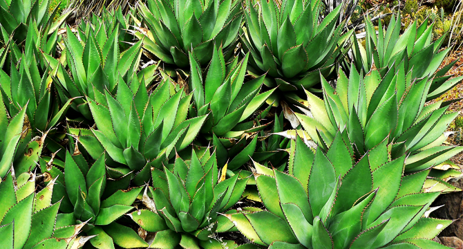 agave image